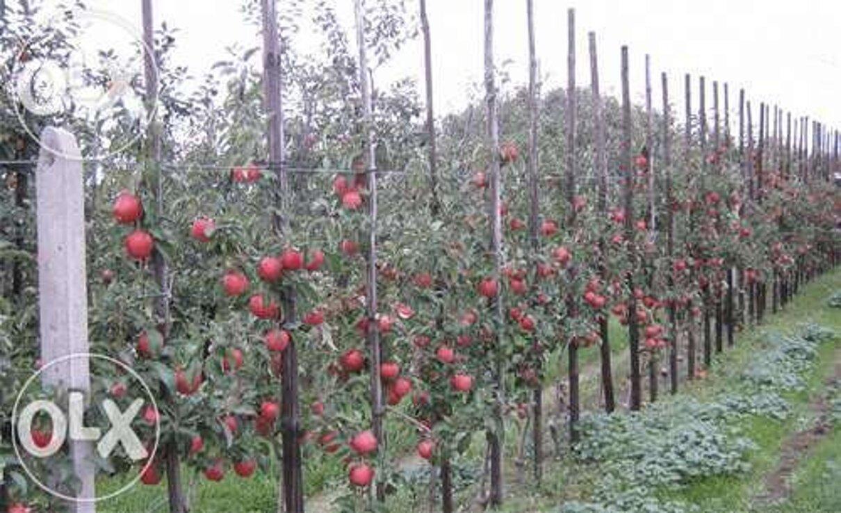 Жалоба-отзыв: Сбор яблок - Осторожно мошенники.  Фото №1