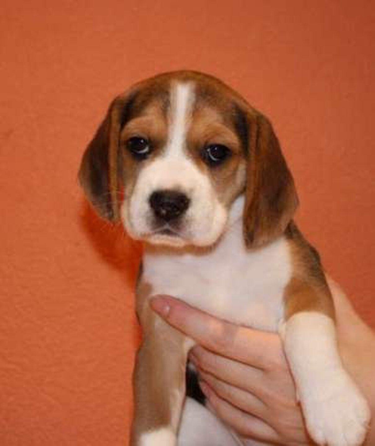 Жалоба-отзыв: Артем - Продам щенка Бигль.  Фото №3