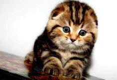 Жалоба-отзыв: Олх мошенница анжела киев 0992957155 - Анжела из киева продает несуществующих котят.  Фото №2